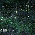 山中湖螢火蟲