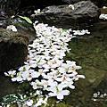 2016油桐花季