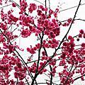 三峽熊空賞櫻