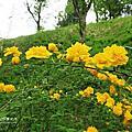 羊山公園芝櫻