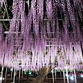 足利花卉公園紫藤花季
