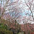 拉拉山恩愛農場櫻花