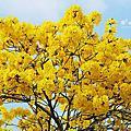 嘉義黃花風鈴木滿開景點