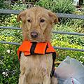 20080705愛狗游泳