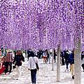 2017 北九州。紫藤