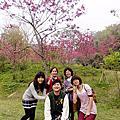 今年的櫻花在東勢林場