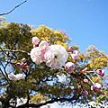 2014福岡賞櫻