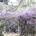 2015.3月的紫藤花開