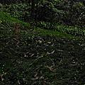 山峰螢火蟲
