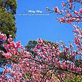 陽明山.竹子湖.海竽+櫻花
