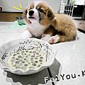 [吃喝] 柯基幼犬的飼料&奶粉食用心得(渴望&貝克賜美樂)