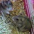可愛的小老鼠