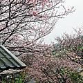 陽明山平菁街93巷橘子咖啡內厝溪櫻花飛舞