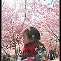 20130218武陵.賞春櫻