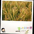 20120317大雅小麥