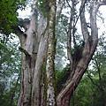 尖石鎮西堡B區巨木群
