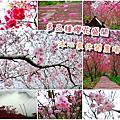 台中新社-沐心泉休閒農場櫻花季