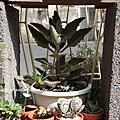 四分之一花園(多肉植物)‧玫葉兔耳