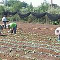 無毒草莓種植