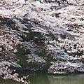 {2012}春。櫻
