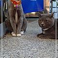 2009.5皇家眼鏡的貓咪