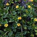 雙子葉植物(草本)