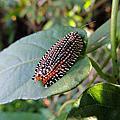 黑端豹斑蝶&大麗捲葉蛾
