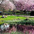 陽光普照格拉斯哥 櫻花盛開