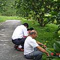 阿公的柚子園