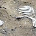 20170322 後龍鎮好望角 過港貝化石層