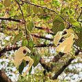 .鴿子樹(手帕樹)