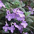 陽明山花卉中心球根植物展