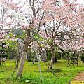 六龜天台山花旗木