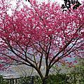 美麗櫻花梅花與李花