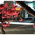 2013-昌平國小櫻花開了~