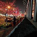 2014-02.24台中市區櫻花