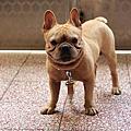 2012-07-21 英國鬥牛犬