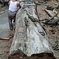 進口整支原木
