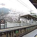 2013當櫻花盛開第7天