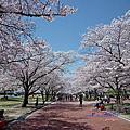2013當櫻花盛開第9天