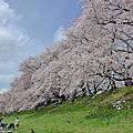 2016媽媽的櫻花祭第3天