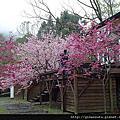 【宜蘭。大同】初春時節,浪漫櫻花喜綻放*棲蘭森林遊樂區