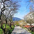 【南投。仁愛】趁著冬日暖陽賞花趣。互助國小賞梅步道