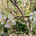 【南投。仁愛】春櫻漫漫賞花趣。 春陽部落