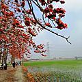 【彰化。竹塘】一期一會。 紅綠交織的田野畫布