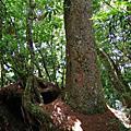 【花蓮。秀林】巨木森林。 編號86小百岳~卡拉寶山 2397M