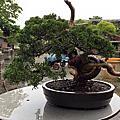 安仔的盆栽作業記錄
