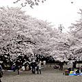 日本的櫻花季