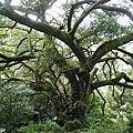 1061214-鶯歌16顆大榕樹
