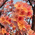 2014◆01/25陽明山賞櫻花◆